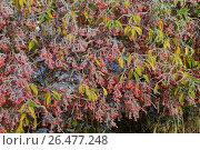 Купить «European spindle-tree (Euonymus europaea, Euonymus europaeus), fruiting branches with hoar frost, Germany», фото № 26477248, снято 12 ноября 2016 г. (c) age Fotostock / Фотобанк Лори