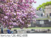 Купить «Ветки сакуры, крупный план», фото № 26482608, снято 10 апреля 2013 г. (c) Кекяляйнен Андрей / Фотобанк Лори