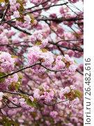 Купить «Ветки розовой сакуры, фон», фото № 26482616, снято 10 апреля 2013 г. (c) Кекяляйнен Андрей / Фотобанк Лори