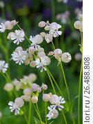 Bladder campion, maiden's tears (Silene vulgaris), blooming, Germany. Стоковое фото, фотограф F. Hecker / age Fotostock / Фотобанк Лори