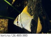 Silver mono, moonfish, Diamondfish, Fingerfish, Kilefish, Butter-bream, Silver moony (Monodactylus argenteus, Chaetodon argenteus, Acanthopodus argentus), swimming. Стоковое фото, фотограф F. Hecker / age Fotostock / Фотобанк Лори