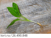 Ramsons, buckrams, wild garlic, broad-leaved garlic, wood garlic, bear leek, bear's garlic (Allium ursinum), complete plant on a wooden board. Стоковое фото, фотограф F. Hecker / age Fotostock / Фотобанк Лори