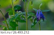 Купить «Blue Columbine flower after rain», видеоролик № 26493212, снято 4 июня 2017 г. (c) Игорь Жоров / Фотобанк Лори