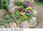 Купить «Оформление приствольного круга весенними цветами на садовом участке», эксклюзивное фото № 26494024, снято 27 мая 2017 г. (c) Елена Коромыслова / Фотобанк Лори