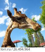 Жираф. Стоковое фото, фотограф Франгони Владимир / Фотобанк Лори