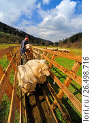 Domestic sheep (Ovis ammon f. aries), sheep are penned for vaccination, Germany, Baden-Wuerttemberg, Black Forest. Стоковое фото, фотограф B. Trapp / age Fotostock / Фотобанк Лори