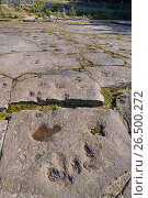 Купить «Dinosaur footprints on sandstone, Germany, Lower Saxony, Obernkirchener Sandsteinbrueche, Obernkirchen», фото № 26500272, снято 18 июля 2014 г. (c) age Fotostock / Фотобанк Лори