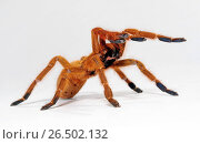 Orange baboon tarantula, Mombasa golden starburst tarantula (Pterinochilus murinus, Pterinochilus mamillatus), in defence posture, cut-out. Стоковое фото, фотограф B. Trapp / age Fotostock / Фотобанк Лори
