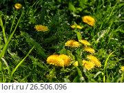 Купить «Close up of blooming yellow dandelion flowers», фото № 26506096, снято 27 мая 2017 г. (c) Илья Малов / Фотобанк Лори