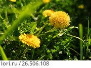 Купить «Close up of blooming yellow dandelion flowers», фото № 26506108, снято 27 мая 2017 г. (c) Илья Малов / Фотобанк Лори