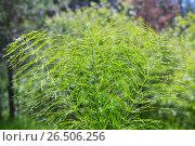 Хвощ полевой ( лат. Equisetum arvenseи ). Многолетнее травянистое растение. Стоковое фото, фотограф Евгений Мухортов / Фотобанк Лори