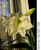 Купить «Amaryllis (Hippeastrum spec.), white flowering variety on a windowsill», фото № 26507120, снято 27 февраля 2008 г. (c) age Fotostock / Фотобанк Лори