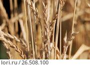 Купить «Spelt wheat (Triticum spelta), spikes», фото № 26508100, снято 10 декабря 2019 г. (c) age Fotostock / Фотобанк Лори