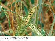 Купить «Wild Barley (Hordeum spontaneum), spikes», фото № 26508104, снято 10 декабря 2019 г. (c) age Fotostock / Фотобанк Лори