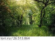 Купить «Лиственный лес летом», фото № 26513864, снято 21 мая 2017 г. (c) виктор химич / Фотобанк Лори