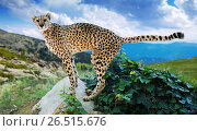 Купить «Male cheetah at wildness», фото № 26515676, снято 25 марта 2019 г. (c) Яков Филимонов / Фотобанк Лори