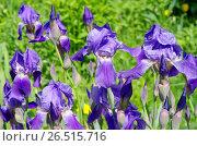 Купить «Фиолетовые бородатые ирисы (лат. Iris barbatus) крупным планом», фото № 26515716, снято 10 июня 2017 г. (c) Елена Коромыслова / Фотобанк Лори