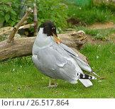Купить «Черноголовый хохотун (Larus ichthyaetus). Great black-headed gull», фото № 26517864, снято 11 июня 2017 г. (c) Валерия Попова / Фотобанк Лори