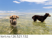 dogs in sea or indian ocean water on seychelles. Стоковое фото, фотограф Syda Productions / Фотобанк Лори
