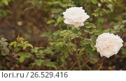 Купить «Two white roses of a gentle shade fluctuate in the wind», видеоролик № 26529416, снято 7 марта 2017 г. (c) Mikhail Davidovich / Фотобанк Лори