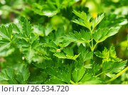 Parsley plant grown in organic natural environment. Стоковое фото, фотограф Irina Shisterova / Фотобанк Лори