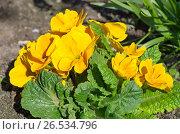 Купить «Примула обыкновенная (лат. Primula vulgaris) на клумбе», фото № 26534796, снято 27 мая 2017 г. (c) Елена Коромыслова / Фотобанк Лори