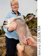 Купить «Vet collecting blood sample of sheep to test for Blue Tongue disease. Lancashire England. (Photo by: Wayne Hutchinson/Farm Images/UIG)», фото № 26538104, снято 4 апреля 2020 г. (c) age Fotostock / Фотобанк Лори