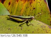 Купить «Monkey grasshoppers (Eumastacidae), sitting on a leaf, Madagascar, Nosy Be, Lokobe Reserva», фото № 26540108, снято 11 октября 2014 г. (c) age Fotostock / Фотобанк Лори