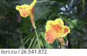 Купить «Amaryllis flowers in sunny day», видеоролик № 26541872, снято 11 июня 2009 г. (c) Куликов Константин / Фотобанк Лори