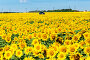 car in field of a blossoming sunflower, фото № 26542644, снято 19 июля 2013 г. (c) Володина Ольга / Фотобанк Лори