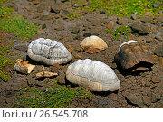 Купить «Empty tortoise shells on stony ground, Grenada, Sandy island, Carriacou», фото № 26545708, снято 9 ноября 2015 г. (c) age Fotostock / Фотобанк Лори