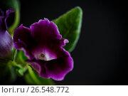 Купить «Beautiful blooming flower violet», фото № 26548772, снято 17 июня 2017 г. (c) Peredniankina / Фотобанк Лори