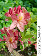 Купить «Рододендрон японский  (лат. Rhododendron japonicum) крупным планом», фото № 26549484, снято 17 июня 2017 г. (c) Елена Коромыслова / Фотобанк Лори
