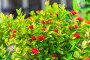 Beautiful bush with red exotic flowers close-up, фото № 26552916, снято 6 ноября 2016 г. (c) Константин Лабунский / Фотобанк Лори