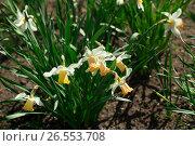 Daffodils. Стоковое фото, фотограф Антон Соваренко / Фотобанк Лори