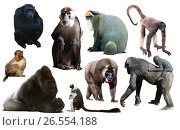 Купить «primates isolated on white», фото № 26554188, снято 23 апреля 2019 г. (c) Яков Филимонов / Фотобанк Лори