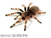 Купить «Brazilian Black and White, Brazilian red and white tarantula (Nhandu colloratovillosum, Brazilopelma coloratovillosum), cut-out», фото № 26556916, снято 30 мая 2012 г. (c) age Fotostock / Фотобанк Лори