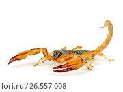 Купить «Robust burrowing scorpion, Carinated bark scorpion, African yellow-leg scorpion (Opistophthalmus carinatus), cut-out», фото № 26557008, снято 25 ноября 2012 г. (c) age Fotostock / Фотобанк Лори