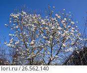 Купить «Цветущая магнолия на фоне голубого неба», фото № 26562140, снято 30 апреля 2017 г. (c) Вячеслав Палес / Фотобанк Лори