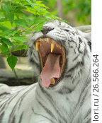 Купить «Белый тигр. Зубы и клыки», фото № 26566264, снято 11 июня 2017 г. (c) Валерия Попова / Фотобанк Лори