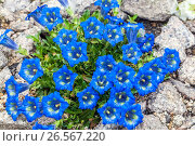 Gentiana angustifolia. Стоковое фото, фотограф Radim Beznoska / age Fotostock / Фотобанк Лори