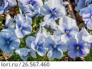 Blue Azur Large-Flowered Pansy / Viola x wittrockiana 'Blue Azur'. Стоковое фото, фотограф Alain Kubacsi / age Fotostock / Фотобанк Лори