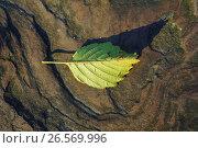 Купить «Россия, жёлтый опавший лист на фактуре камня», фото № 26569996, снято 26 января 2020 г. (c) glokaya_kuzdra / Фотобанк Лори