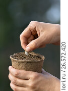 Купить «Посадка семени в торфяной горшок с почвой», фото № 26572420, снято 20 мая 2017 г. (c) Павел Родимов / Фотобанк Лори