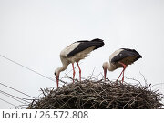 Купить «Two adult white storks in the slot synchronously tilted the heads», фото № 26572808, снято 12 июня 2017 г. (c) Anatoly Timofeev / Фотобанк Лори