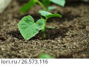 Cucumber growing in a greenhouse. Summer time. Стоковое фото, фотограф Irina Shisterova / Фотобанк Лори