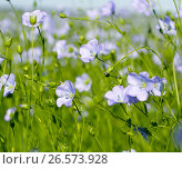 Flowering flax closeup. Стоковое фото, фотограф Андрей Силивончик / Фотобанк Лори