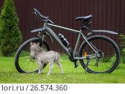 Купить «Гулливер - самая маленькая лошадь в мире», фото № 26574360, снято 21 июня 2017 г. (c) Абрамова Ксения / Фотобанк Лори