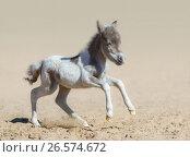 Крошечный новорожденный жеребенок Американской миниатюрной лошади. Стоковое фото, фотограф Абрамова Ксения / Фотобанк Лори