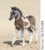 Серебристо-гнедой жеребенок американский миниатюрной лошади. Стоковое фото, фотограф Абрамова Ксения / Фотобанк Лори